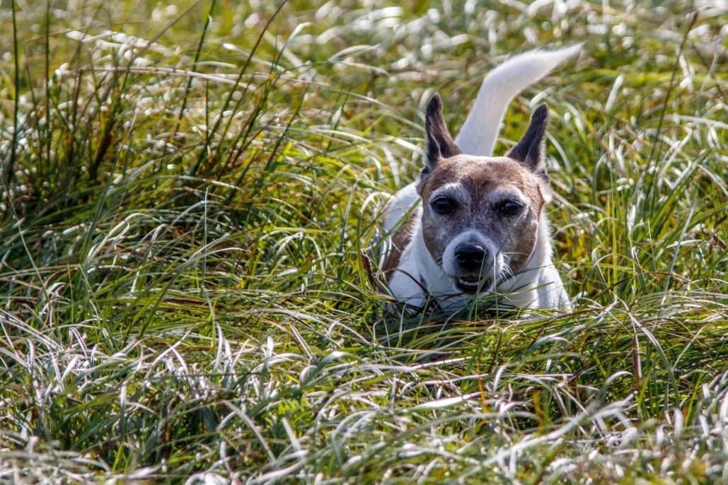 hund im hohen gras