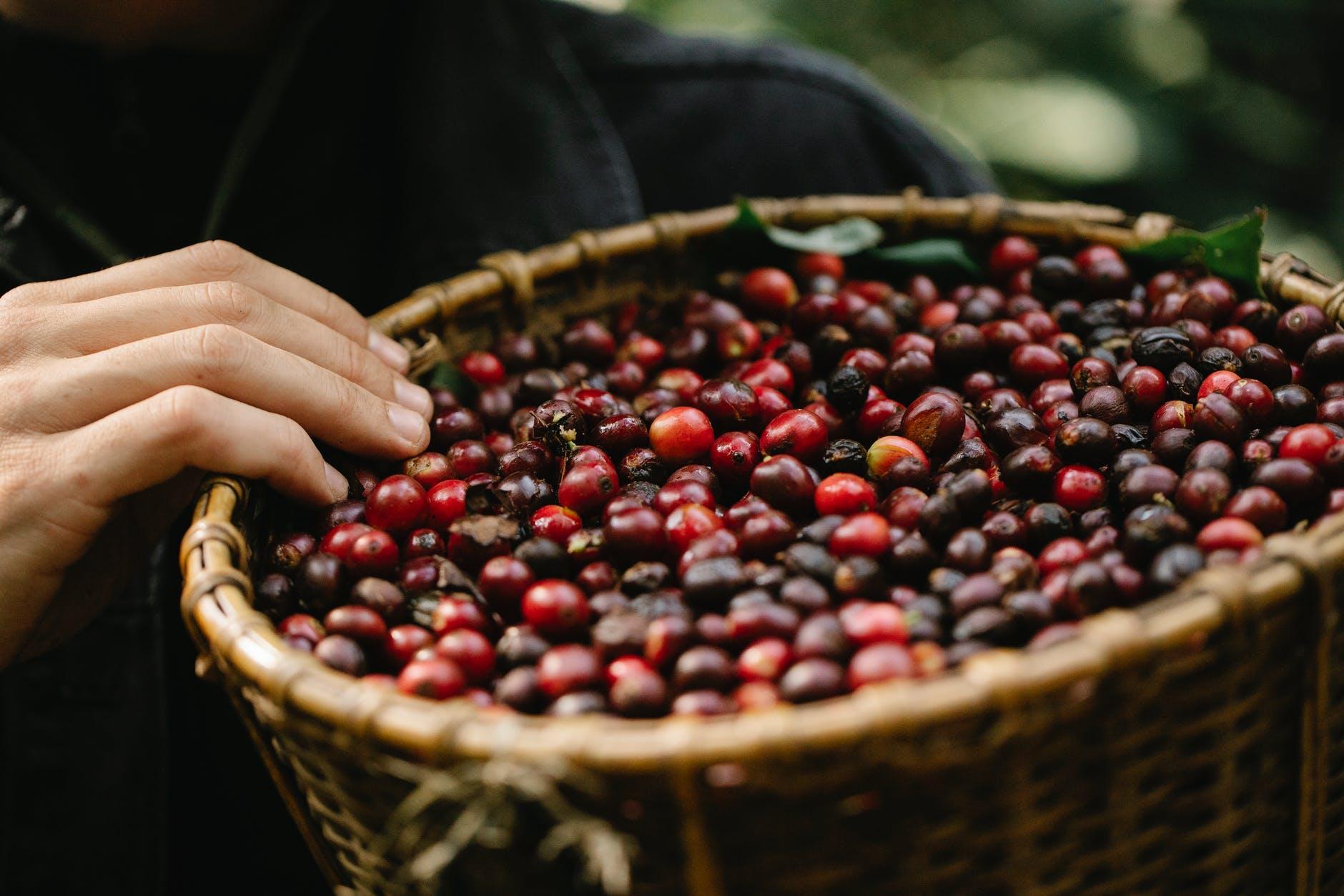 crop gardener showing wicker basket filled with red berries in farm