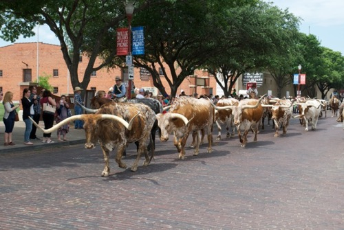"""Cattle Drive"" in Fort Worth - Foto DCVB"