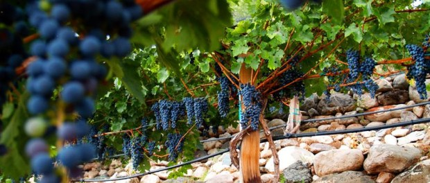 Caduceusgrapes Vineyards. - Foto: Privat