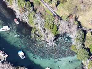Three Sisters Springs Manatees.- Foto: Discover Crystal River Florida