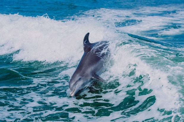 Delphin in den Wellen. - Foto: St Pete Beach
