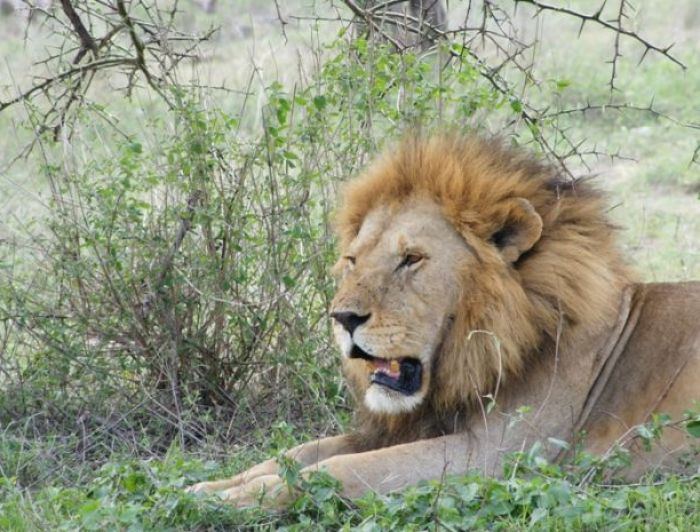 Male LionResting  in Tarangire National Park