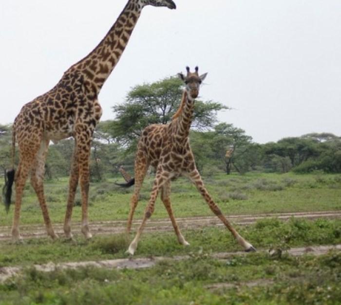 Girrafes in Lake Manyara National Park
