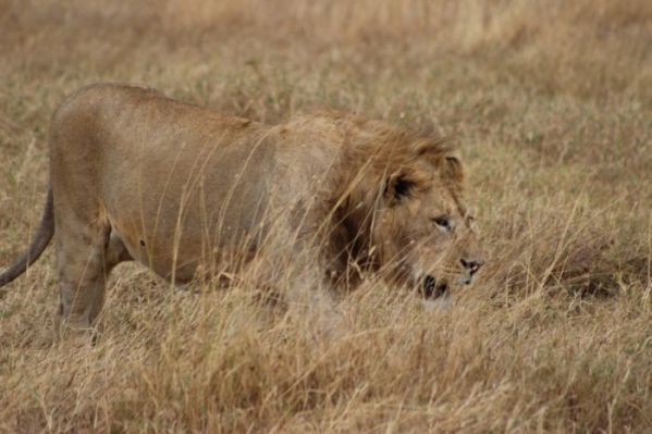 Male Lion in Serengeti National Park
