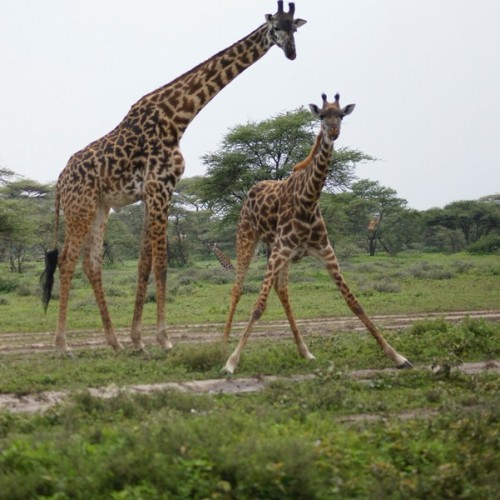 5 Nights 6 Days safari; Lake Manyara Serengeti Ngorongoro
