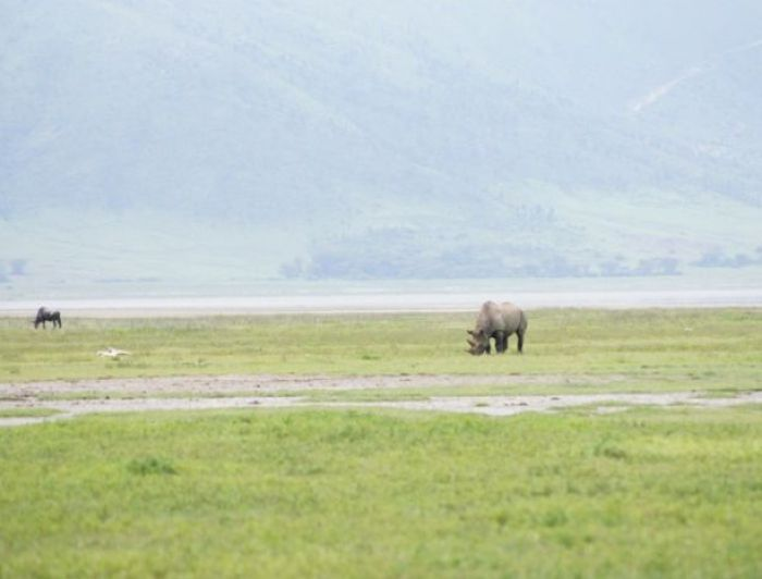 Rhinocerous ini Ngorongoro