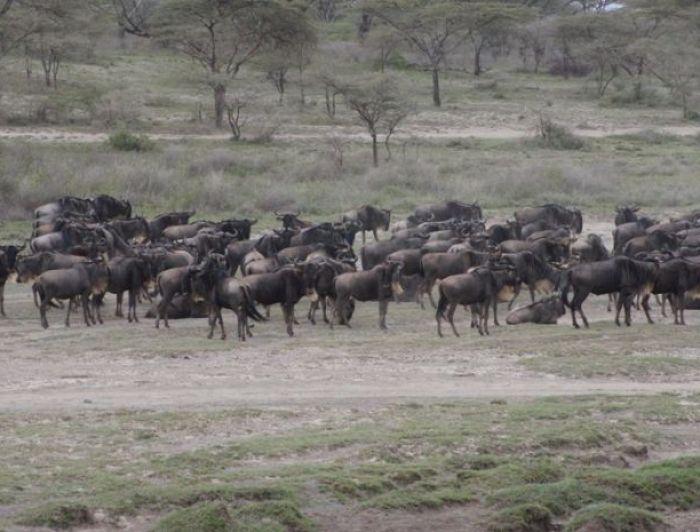 Wildebeest in Serengeti, Tanzania