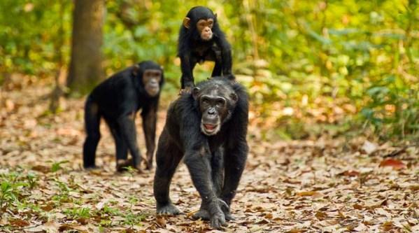 Days Safari to Mahale and Gombe Stream