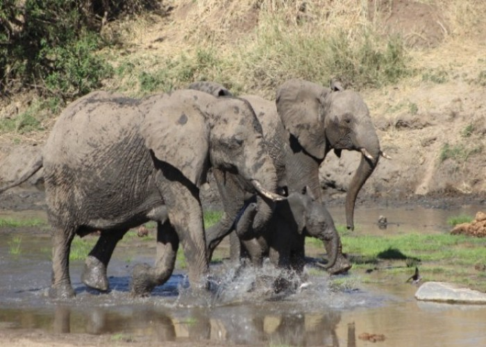 Elephant Family in Lake Manyara National Park