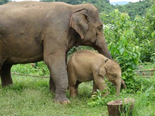 Mum & baby elephants