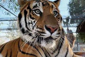 tiger at teaching zoo