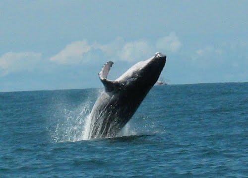 Bahía Ballena whale