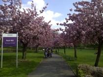 Park Hill cherry blossom