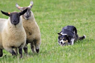 Shabden Park Farm sheep dog