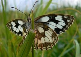 A rare Marbled White butterfly, which can be seen at the wildlife sanctuary at Hutchinson's Bank