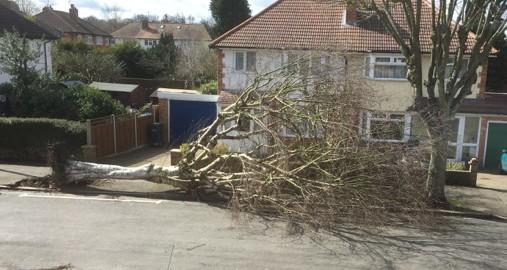 Fallen tree Selsdon, Rylands Road