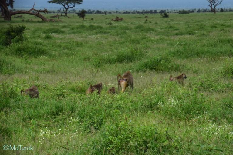 Op zoek naar de olifanten en leeuwen? Bezoek Amboseli National Park!