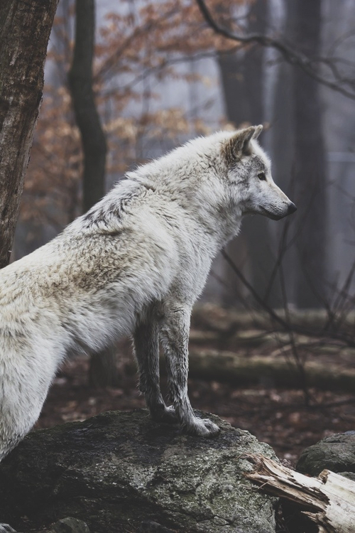white_wolf_in_forest-5705