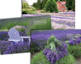 Purple Haze Lavender postcards