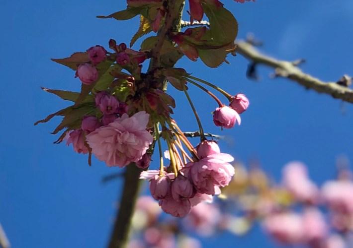 pink blossom blue sky