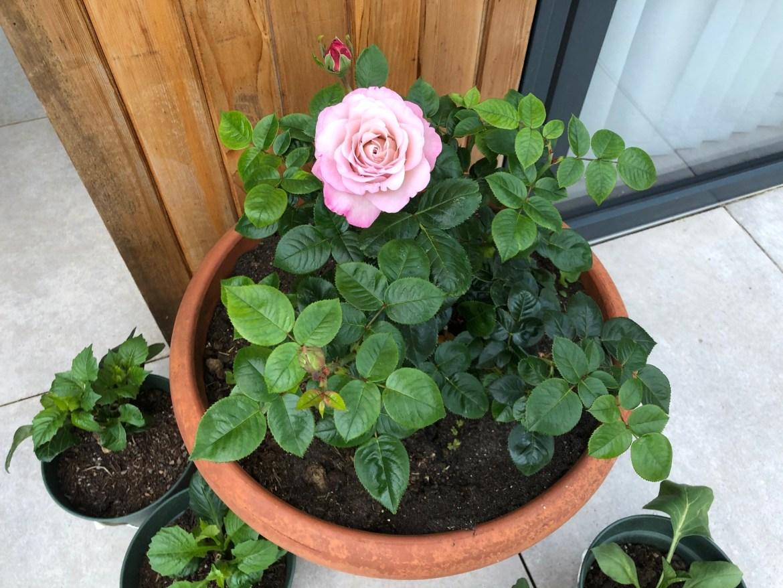 Rose bush dog ashes