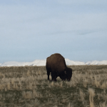 Buffalo on Antelope Island
