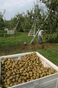 Bosc-Pear-Harvest-Bin