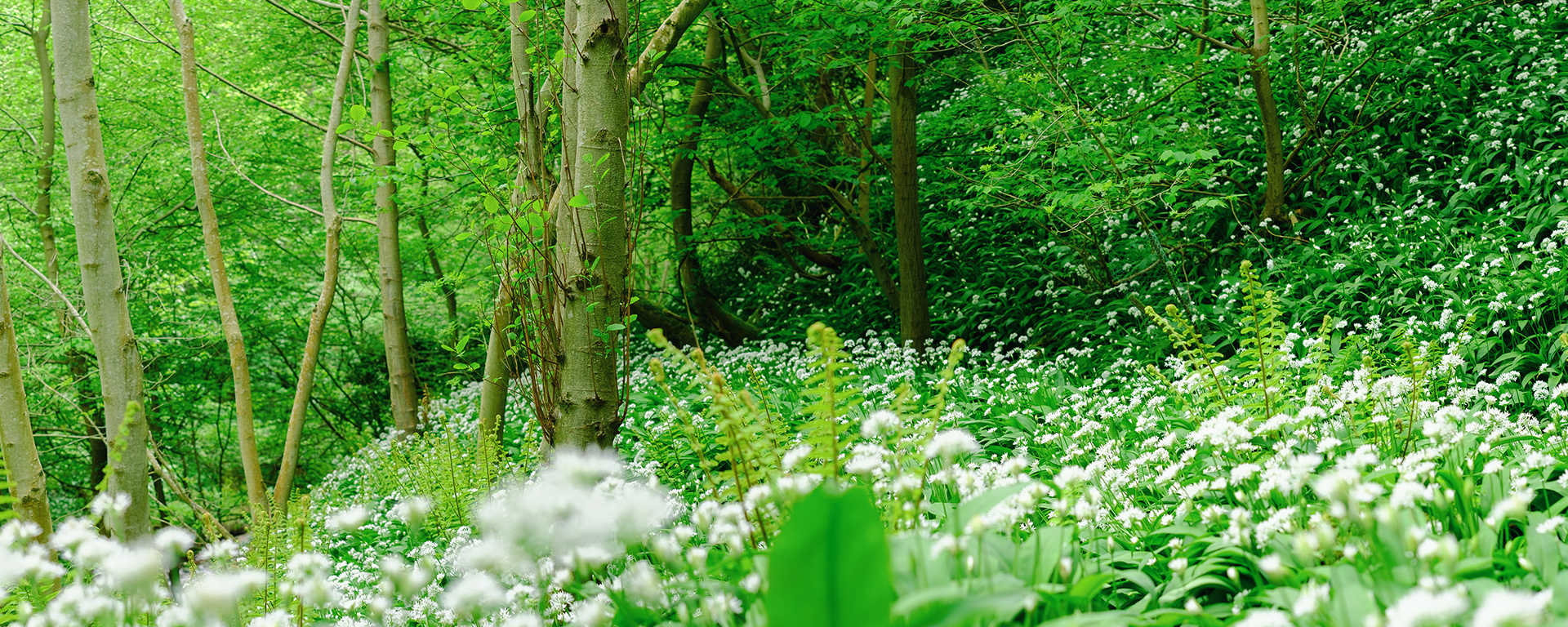 A scene showing green woodland