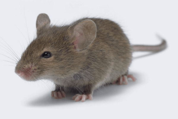 Measuring Energy Balance in Mice from VO2/VCO2, Food Intake and Activity Data