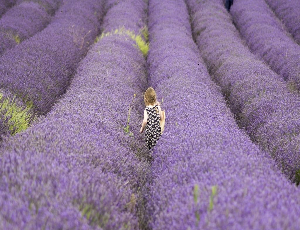 There are six rows in a lavender field in full bloom, and a girl with blonde hair and a black and white dress stands in the middle holding a straw hat in her right hand.
