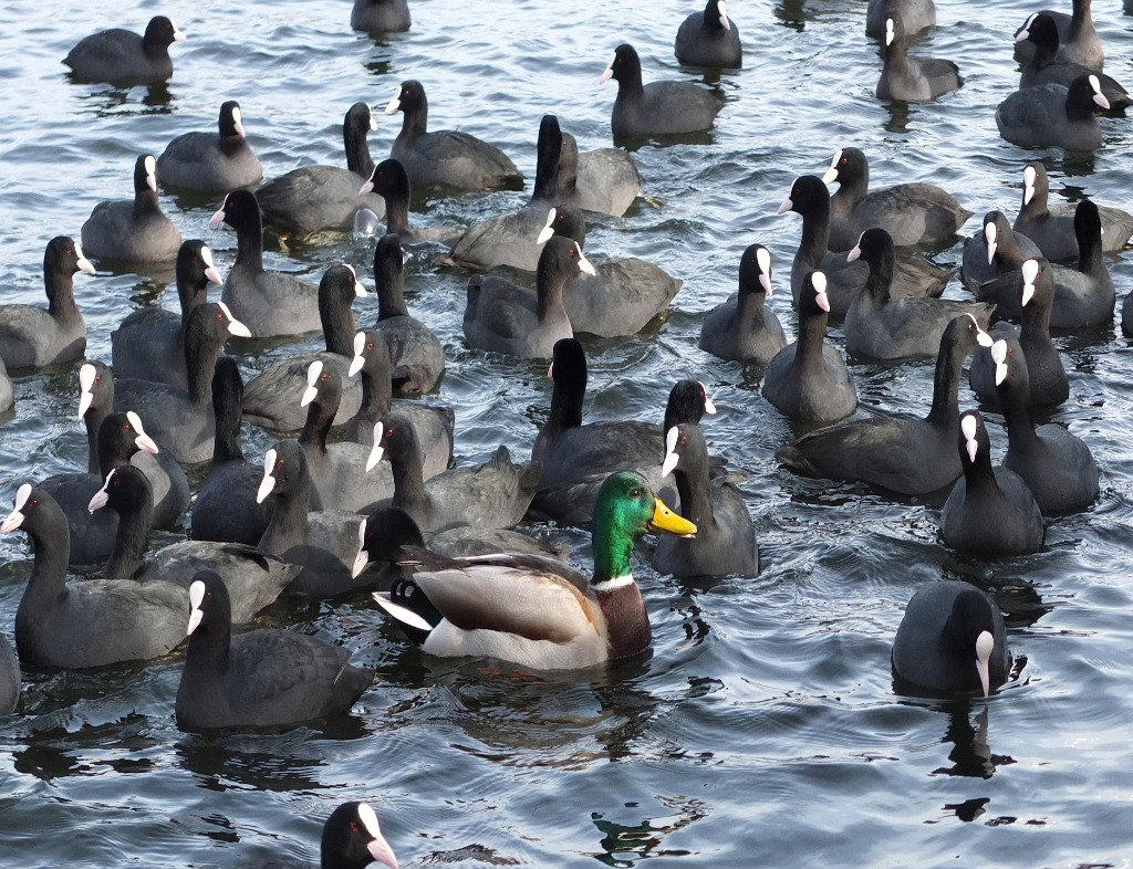A flock of ducks in ripply, clear dark blue water. The ducks are all black and white except for a mallard in the center. He is facing to our right, and his right side is parallel to us. He has an orange beak, green head, and brown chest.