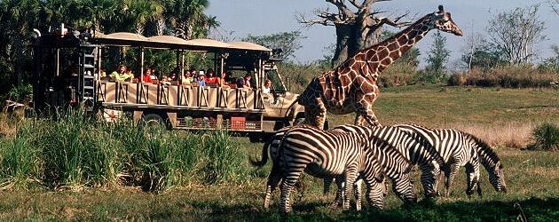 Image of: Nighttime Walt Disney World To Replace Audioanimatronics With Live Animals In Kilimanjaro Safaris At Disneys Animal Kingdom Inside The Magic Walt Disney World To Replace Audioanimatronics With Live Animals In