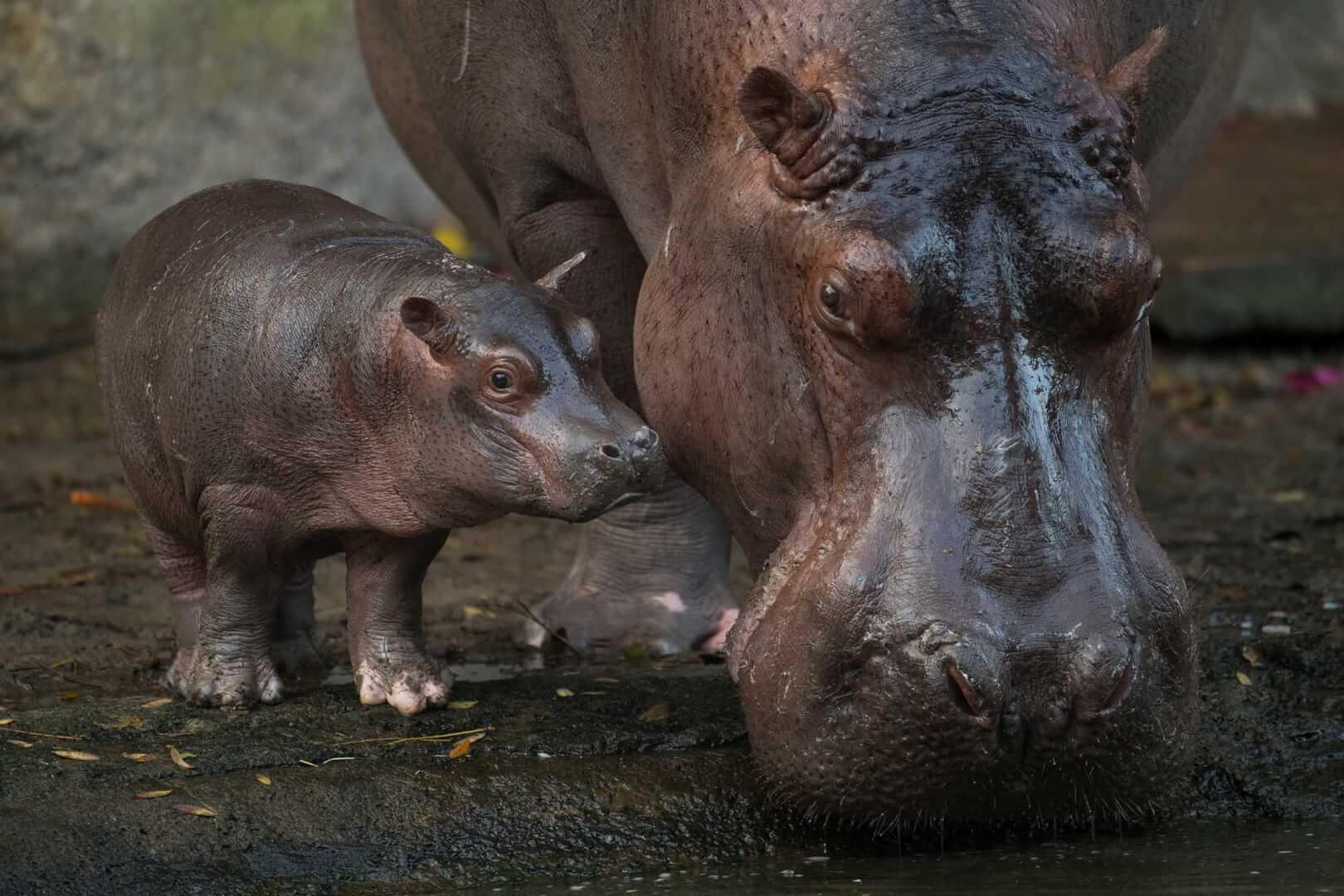 VIDEO: Walt Disney World\'s new baby hippopotamus revealed as boy ...
