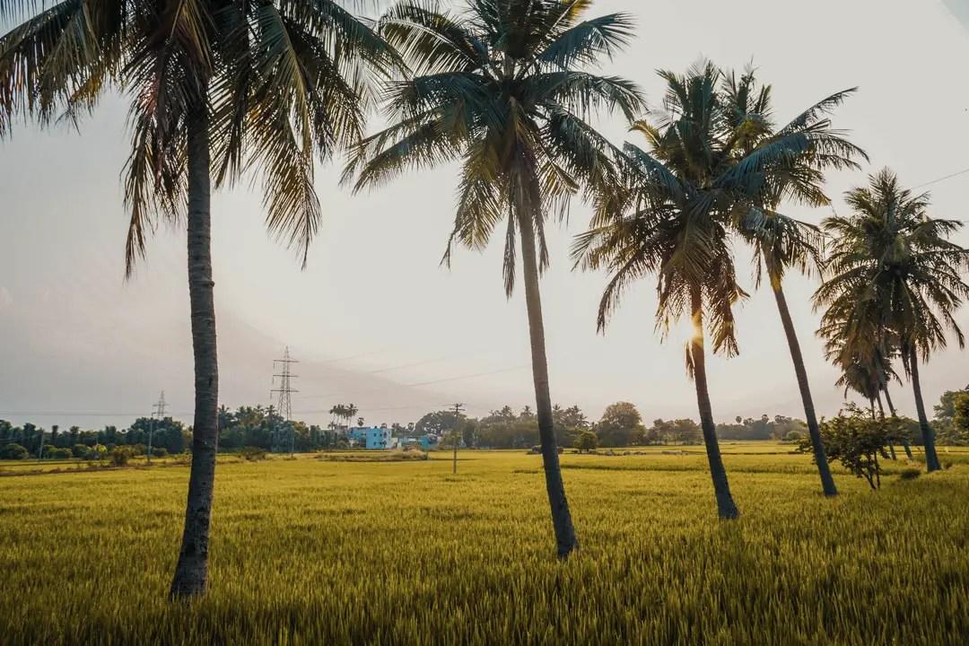 Sunset Paddy Fields Madhavamala Grassroutes Andhra