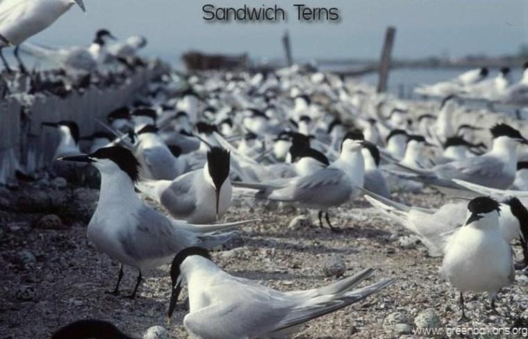 sandwich terns pomorie lake