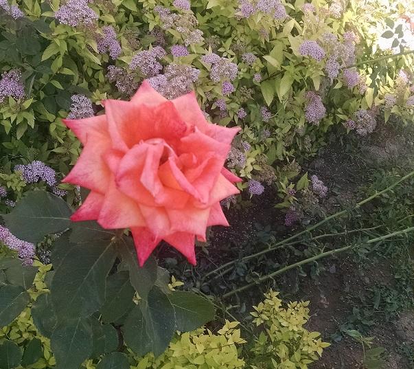 на розата3