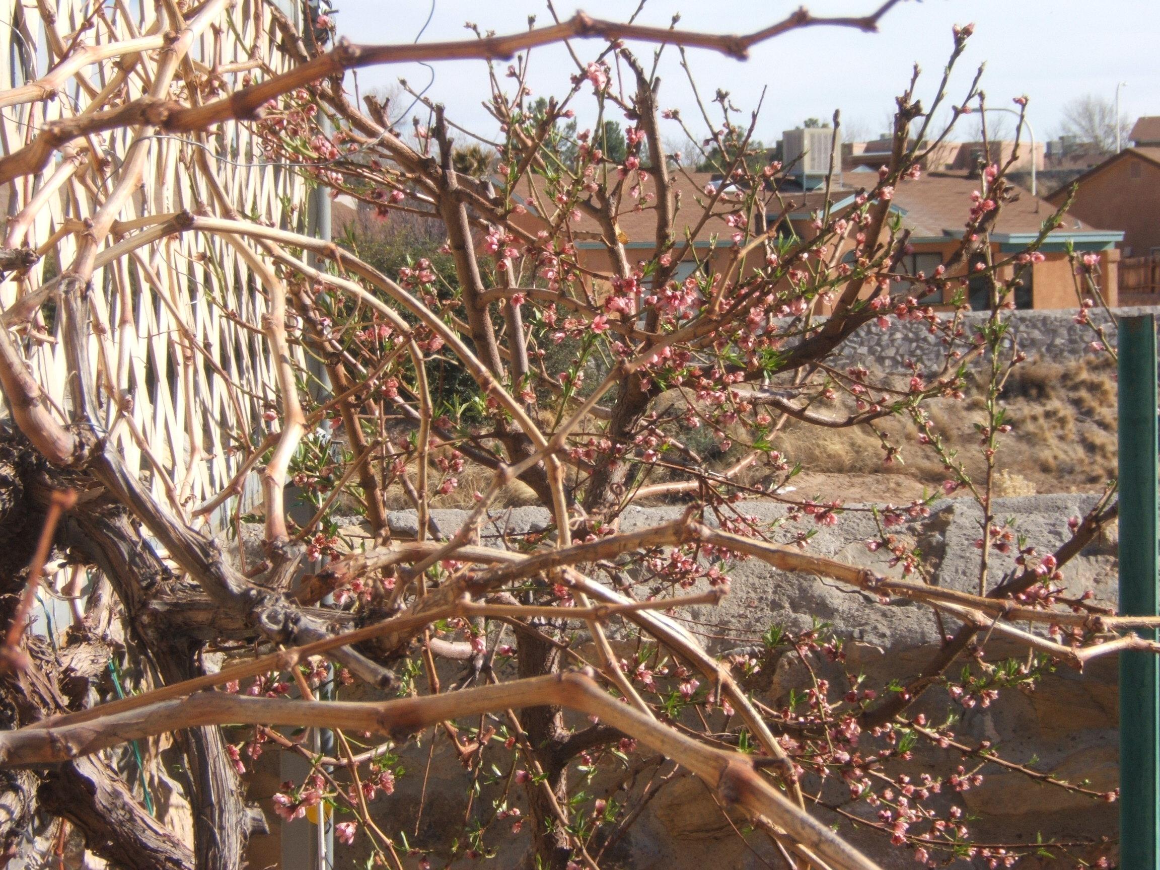"Peach Tree & ""Flame"" Grape"