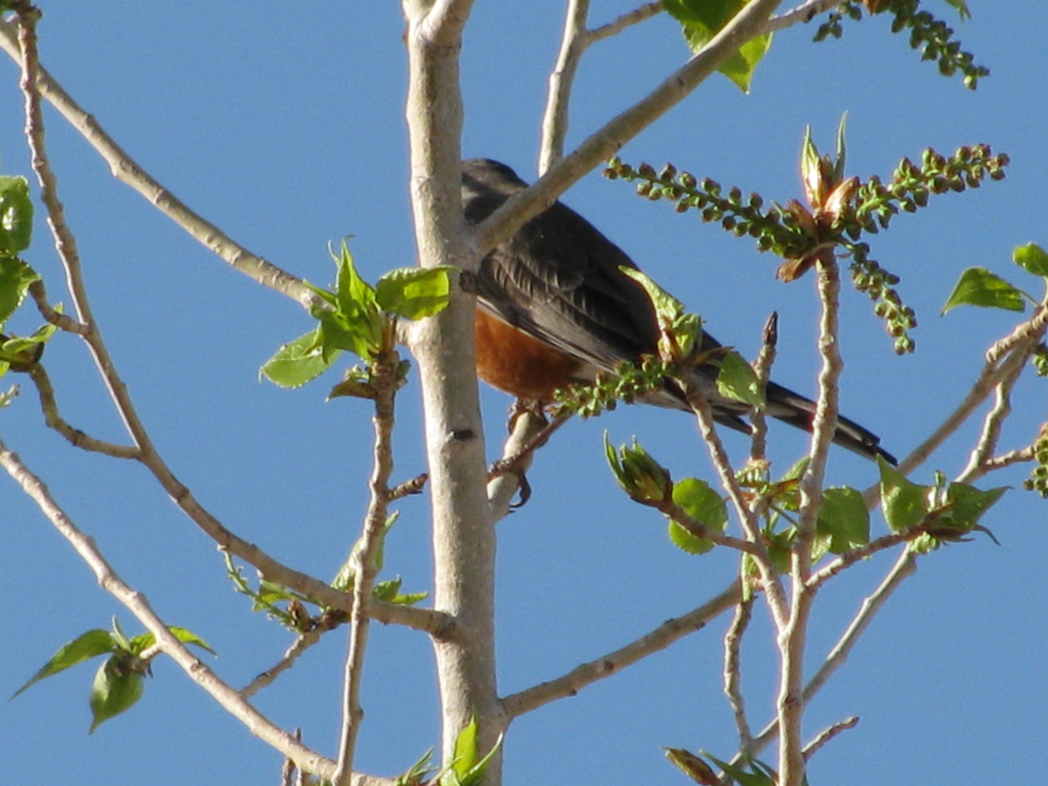 A Robin is a big deal here...