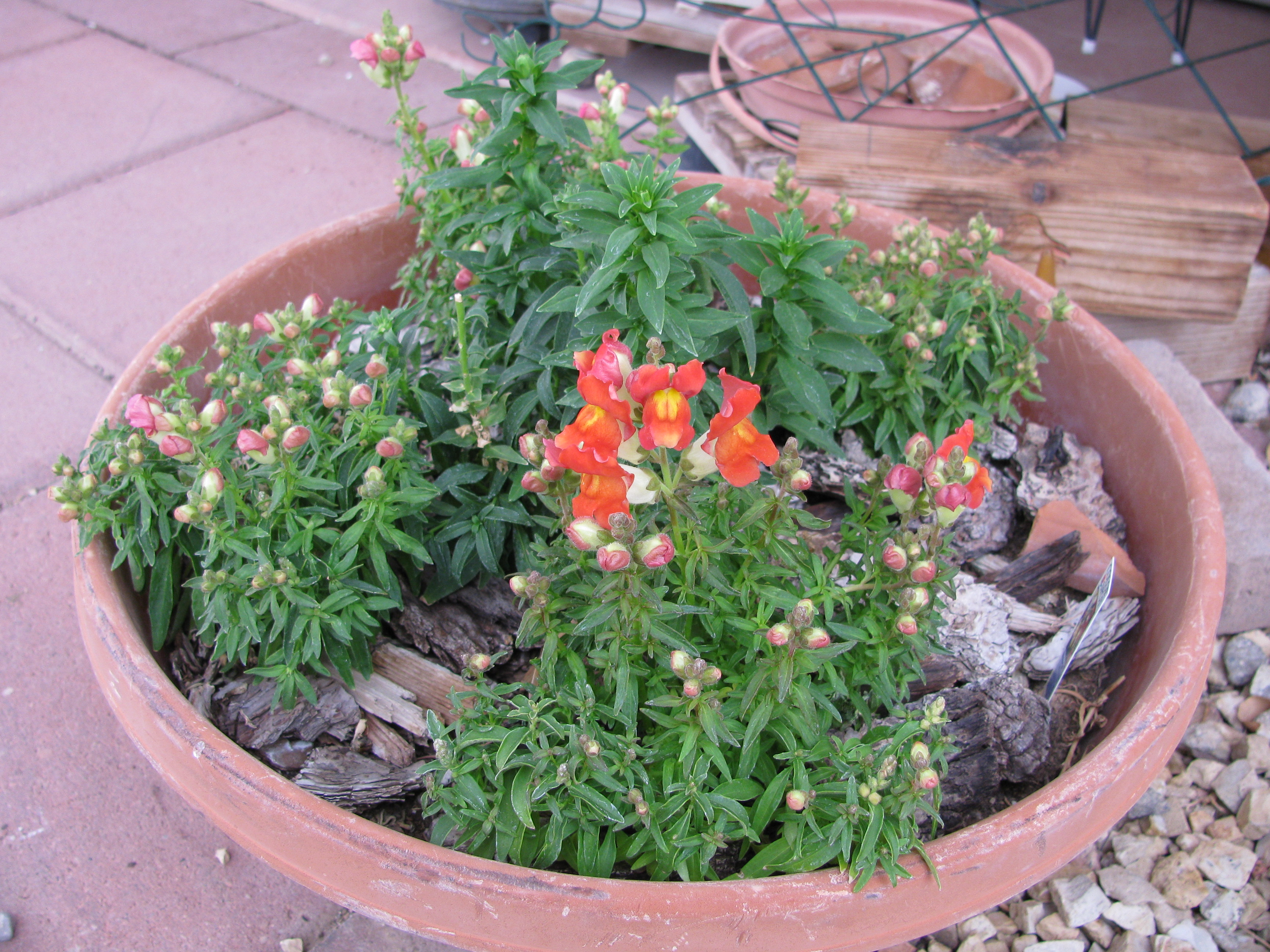 An Interesting Snapdragon in a pot...