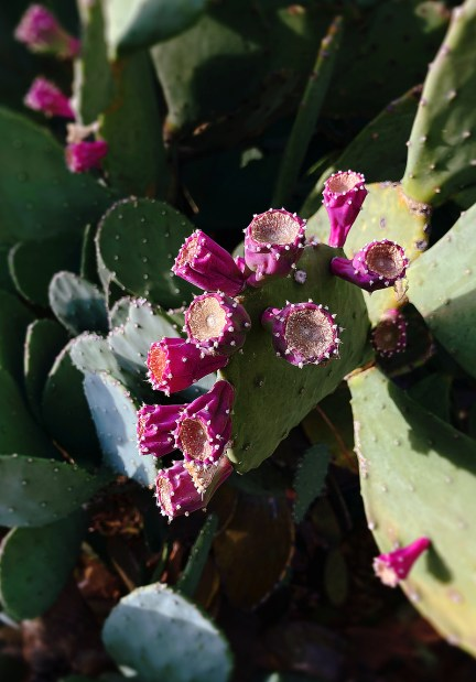 Bright magenta colored flowers arranged on a green prickly pear cactus.