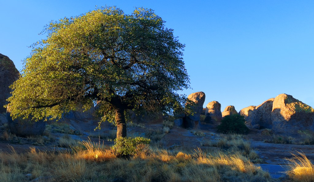 Tree lit on one side by morning light in a setting of massive boulders at City of Rocks State Park.