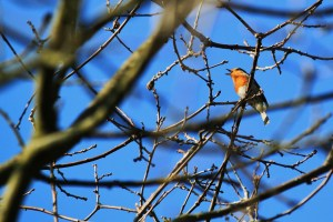 robin in tree, it's beak open singing