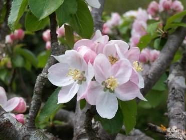 Le Clos de la Risle : fleurs de Pommiers