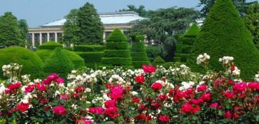 wide garden with amazing rose flower