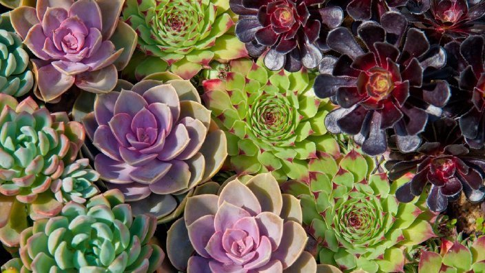 decorating with colorful succulents
