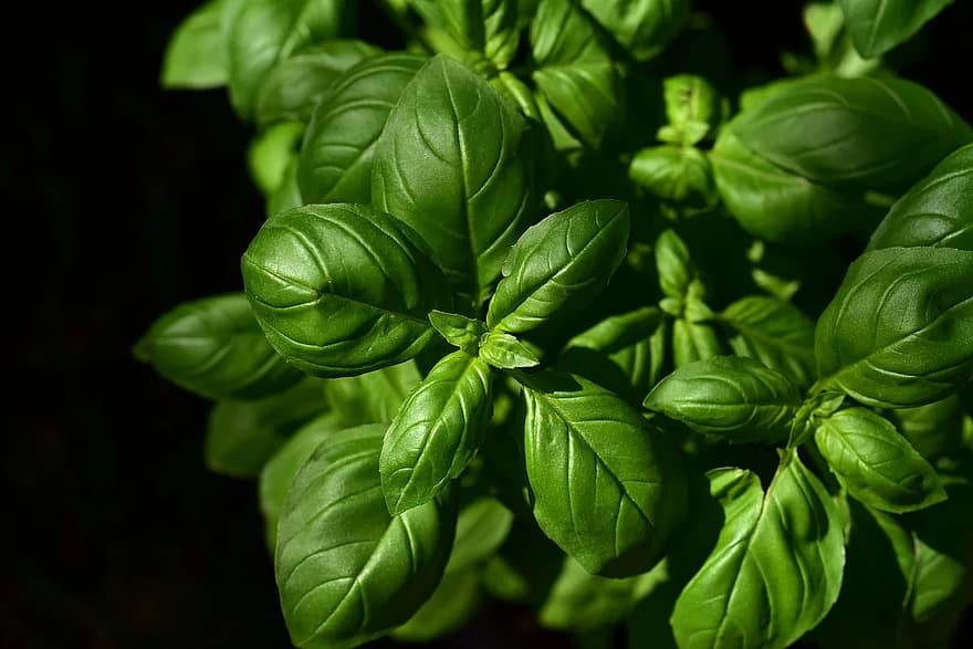 basil herb culinary herbs spice green plant leaves basil leaves medicinal plant