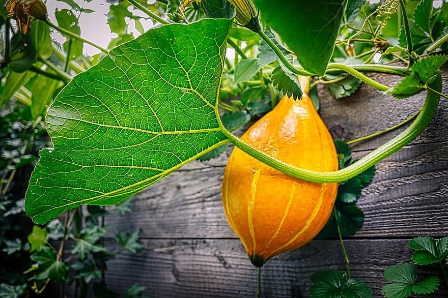 pumpkin garden raised bed halloween autumn leaf nature fresh healthy