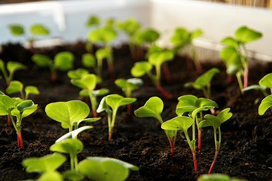 radishes plant scion vegetables cultivation food leaves cress radish cress