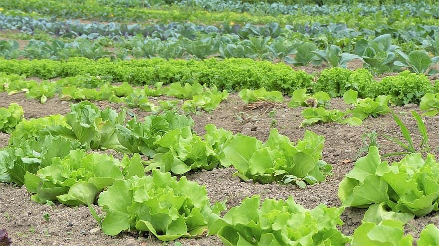 salad herbs vegetables cultivation vegetable growing bio organic farming garden bed